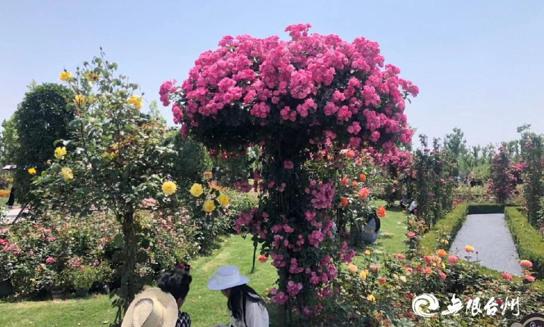 美景与文明相伴|2021台州时尚玫瑰花展今日开展