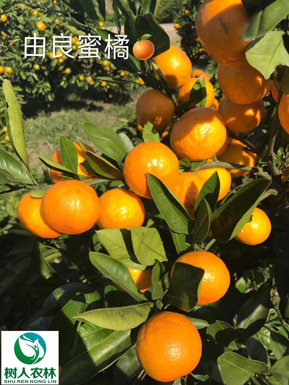 湖南樹人農林科技有限公司,湖南柑橘品種銷售,中國果樹網,常綠果樹類哪里好