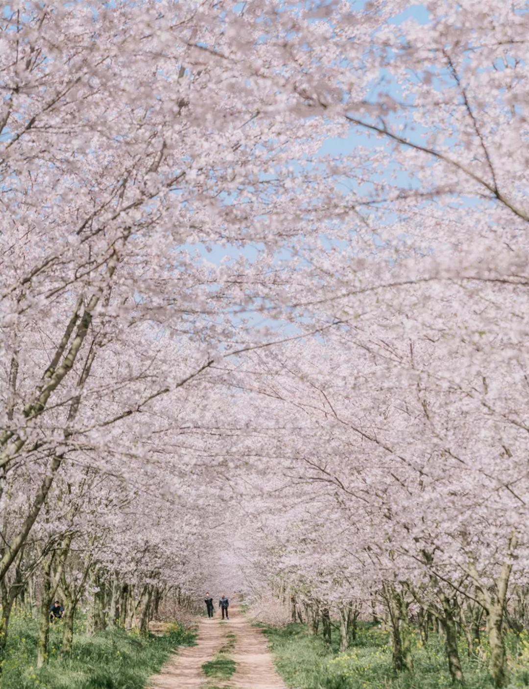 樱花01.png