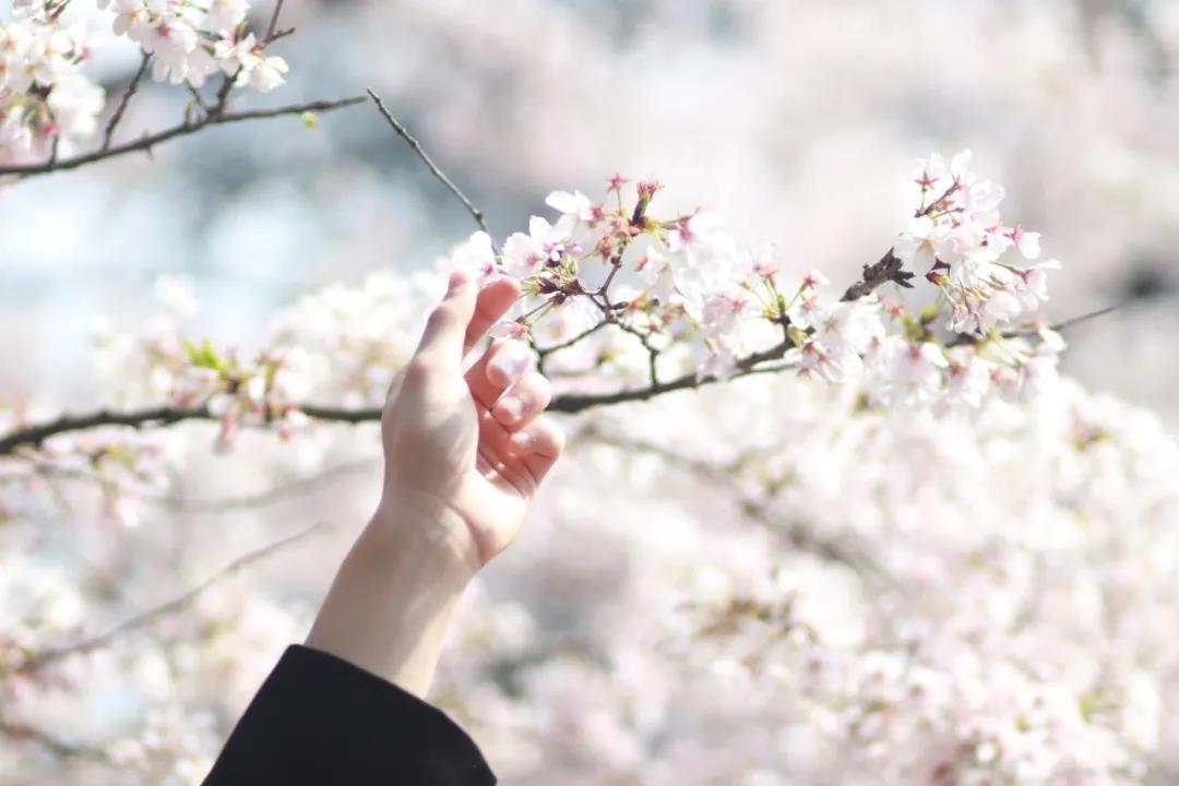 樱花5.jpg