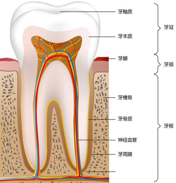 牙齿结构(1).jpg